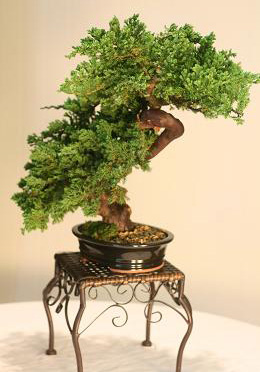 Bonsai Windswept Preserved Juniper
