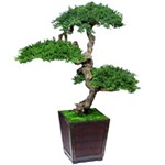 Bonsai Senshi Preserved Juniper