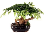 Bonsai Artificial Aralia Tree