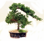 Bonsai Coast Preserved Juniper