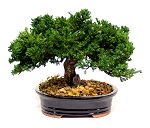 Bonsai Monterey Single Level Preserved