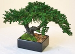 Bonsai Montery Preserved Juniper