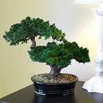 Bonsai Monterey Double Level Preserved