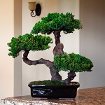 Bonsai Monterey Triple Level Preserved