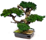 Bonsai Monterey Large Preserved