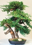Bonsai Monterey Preserved Juniper 36
