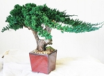 Bonsai Kengai Preserved Juniper