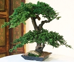 Bonsai Monterey Preserved Juniper Double Double