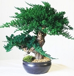 Bonsai Jin Preserved Juniper