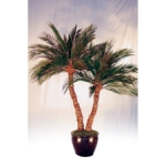 Preserved Palm Double Aloe (6 ft - 12 ft Tall)
