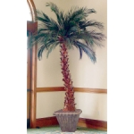 Tree Preserved Palm Date (6 ft - 12 ft