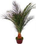 Preserved Plant Newport Palm (50